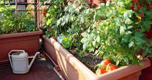Tomato plants in backyard planters