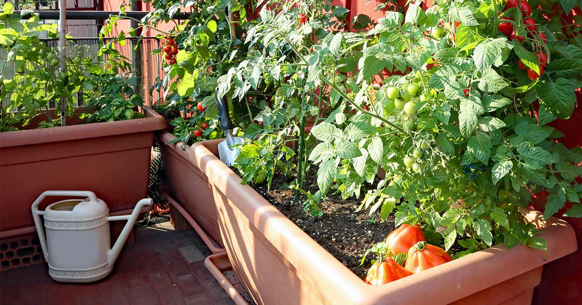 Tomato plants in backyard planters